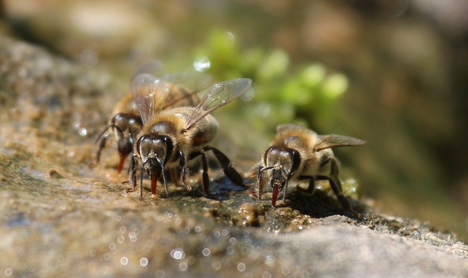 bees-2566646_1920