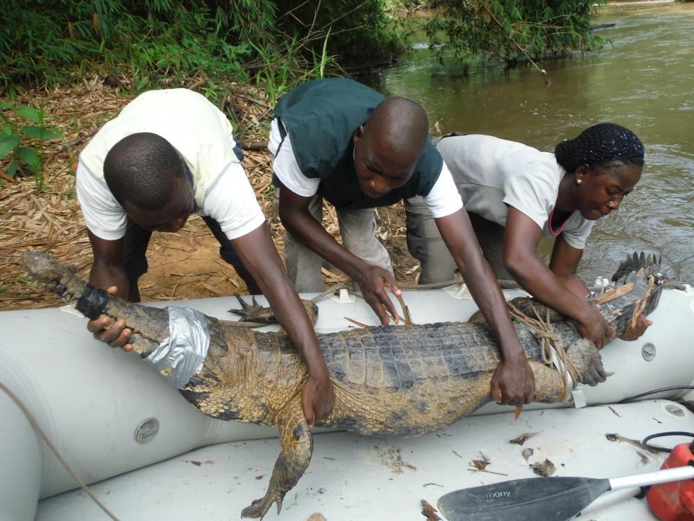Depart pour lâcher crocodile bagué
