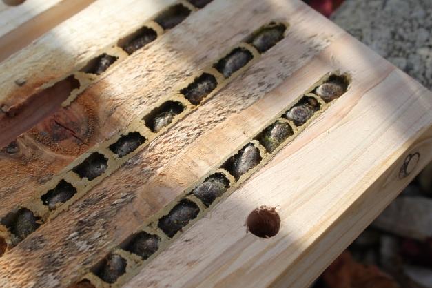 Larve abeille