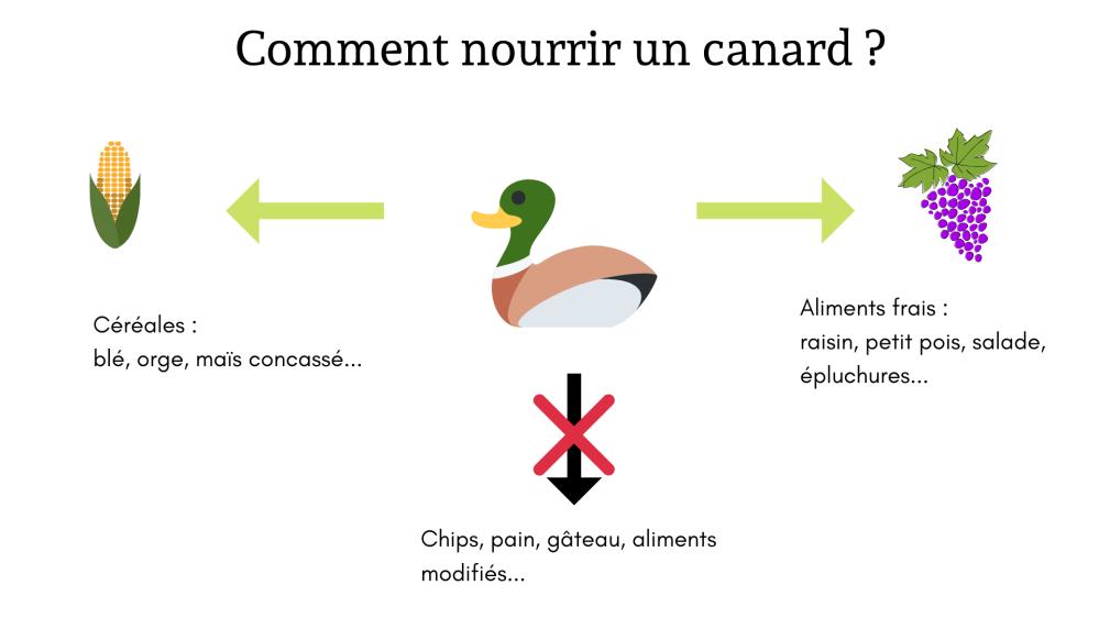 Nourrir un canard