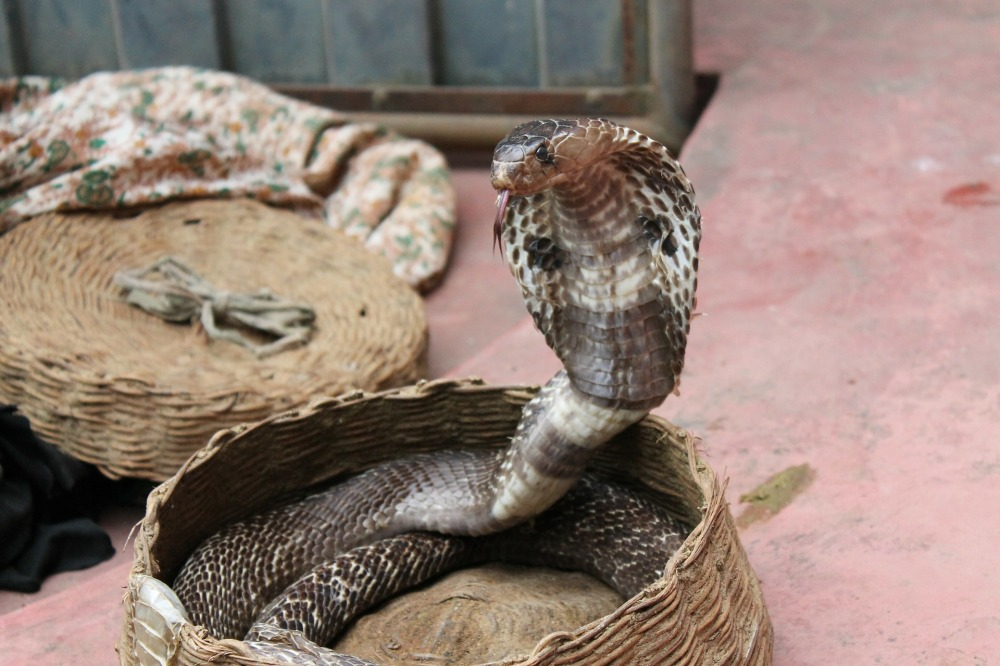 snake-charming-193966_1920