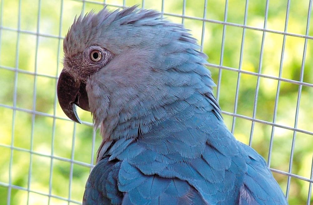 Ara-Spix-cyanopsitta-spixii-protection-espèce-caractère-détention-perroquets-oiseaux-psittacidés-animal-animaux-compagnie-animogen-1